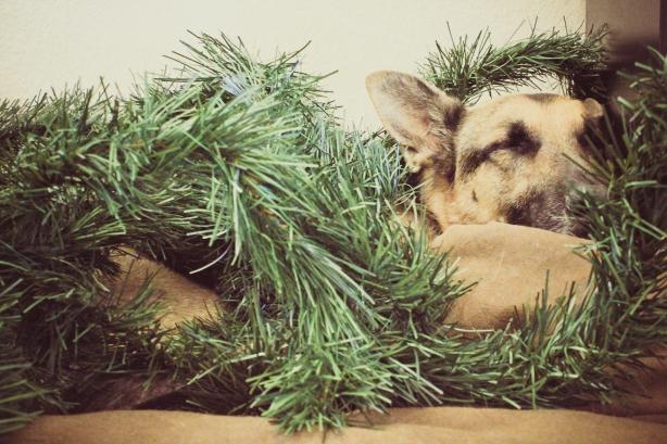 Christmas Dog (1 of 1)
