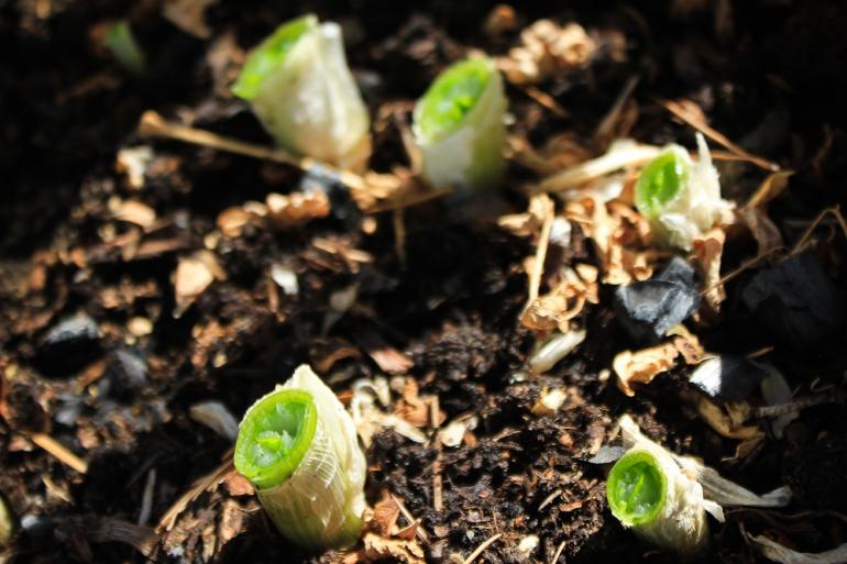 Planting green onion bulbs