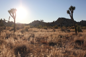 Joshua Tree NP at sunset