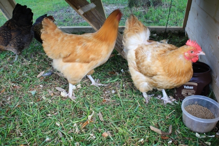 Meet Frank and Olive. No, one's not a rooster. My boys and I have an odd sense of humor and have wanted a hen named Frank.
