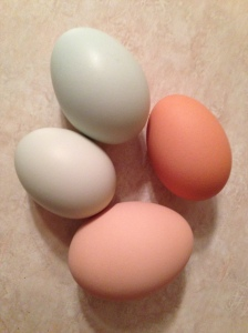 This is the sight that greets us most days.  Frank lays the monster, light-brown eggs.  Olive lays the darker brown.  Matilda lays the darker blue (sometimes larger) eggs.  Henrietta's eggs are consistently small and almost more green than blue.