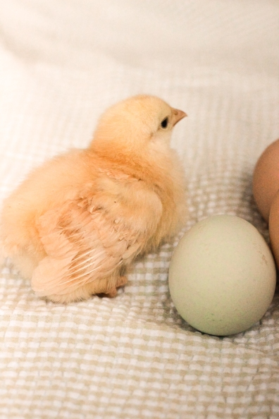 Buff Orpington chick and eggs
