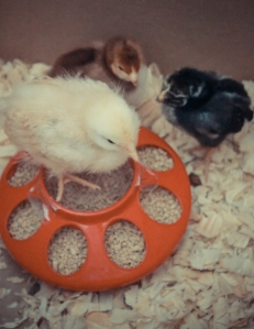 Buff Orp, Wyandotte, and Rhode Island Red Chicks